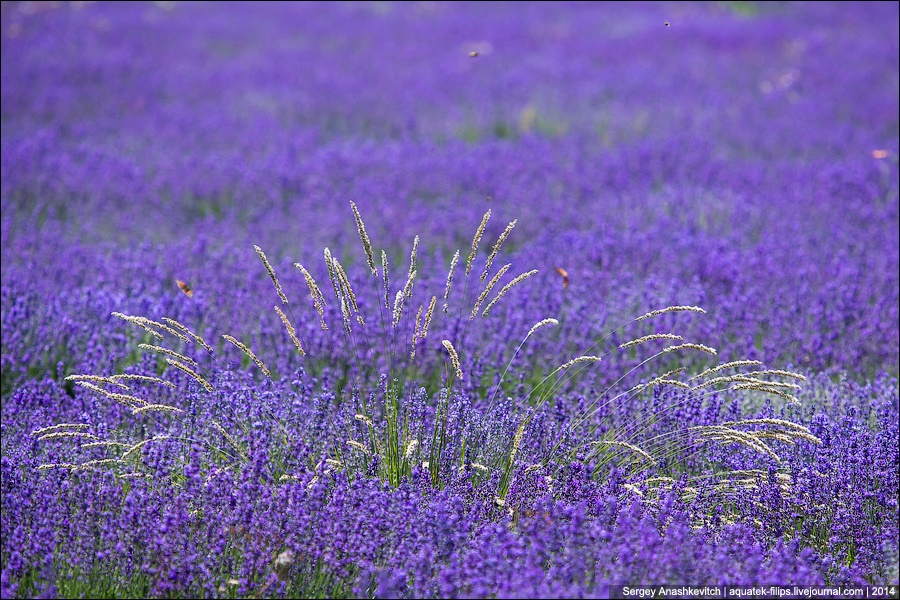 Crimean Provence: Beautiful lavender fields of Crimean peninsula - 01