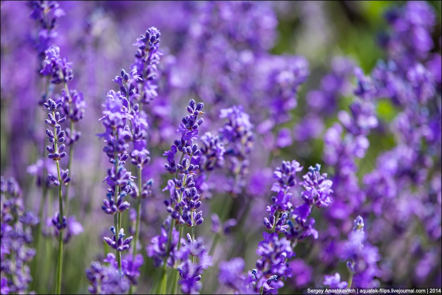 Crimean Provence: Beautiful lavender fields of Crimean peninsula - 13