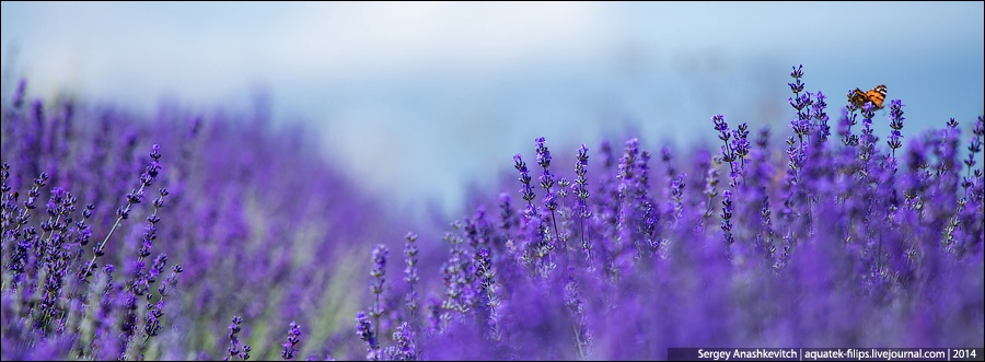 Crimean Provence: Beautiful lavender fields of Crimean peninsula - 02