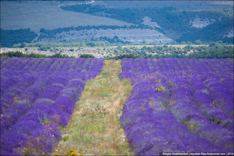 Crimean Provence: Beautiful lavender fields of Crimean peninsula - 03