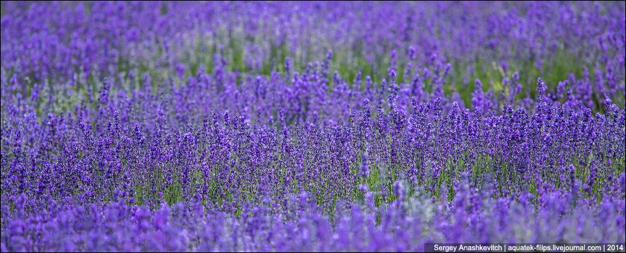 Crimean Provence: Beautiful lavender fields of Crimean peninsula - 05