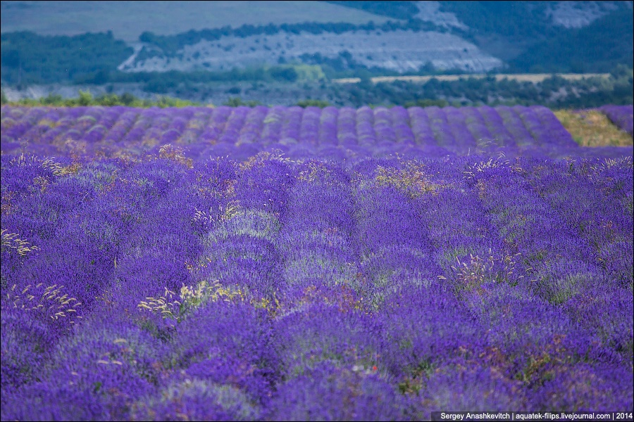 Crimean Provence: Beautiful lavender fields of Crimean peninsula - 06
