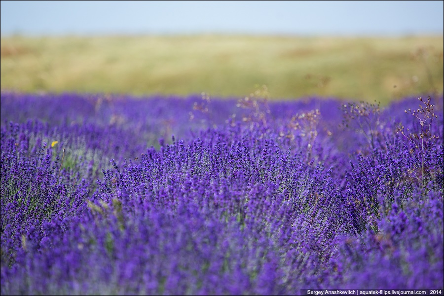 Crimean Provence: Beautiful lavender fields of Crimean peninsula - 07