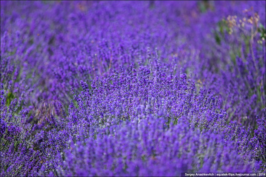 Crimean Provence: Beautiful lavender fields of Crimean peninsula - 09