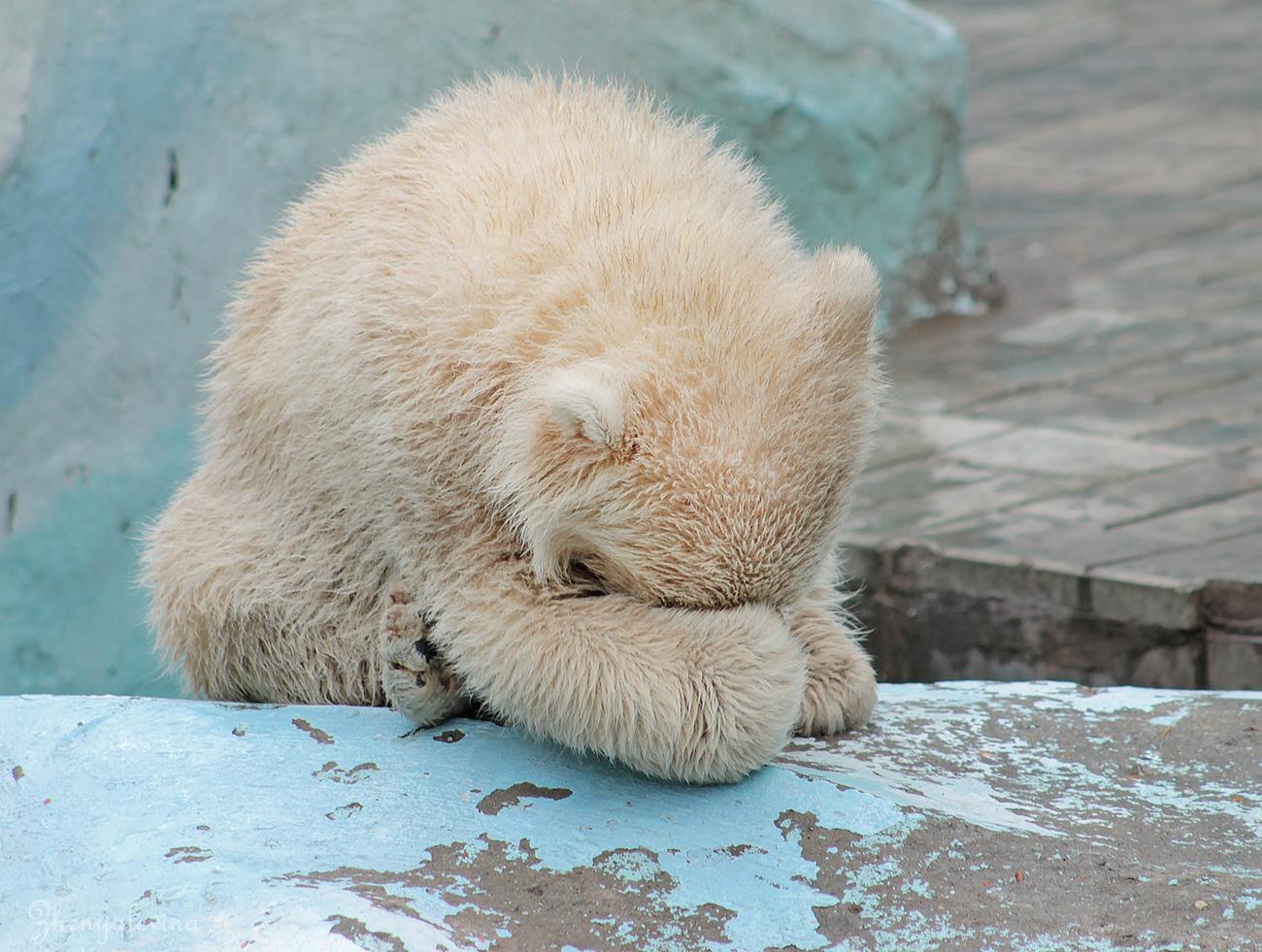 A little white bear