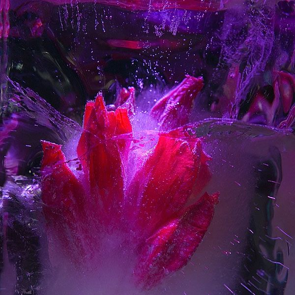 Ice and flowers: Nice frozen still-life photography by Vasilij Cesenov - 01