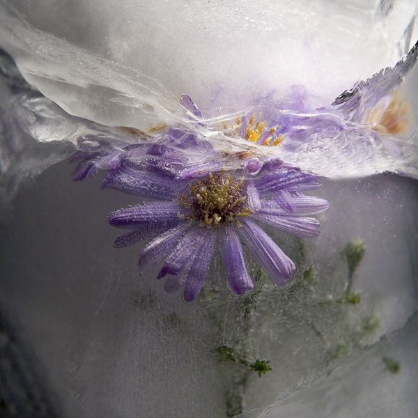 Ice and flowers: Nice frozen still-life photography by Vasilij Cesenov - 10