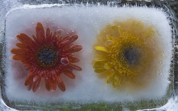 Ice and flowers: Nice frozen still-life photography by Vasilij Cesenov - 16