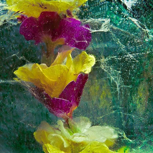 Ice and flowers: Nice frozen still-life photography by Vasilij Cesenov - 17