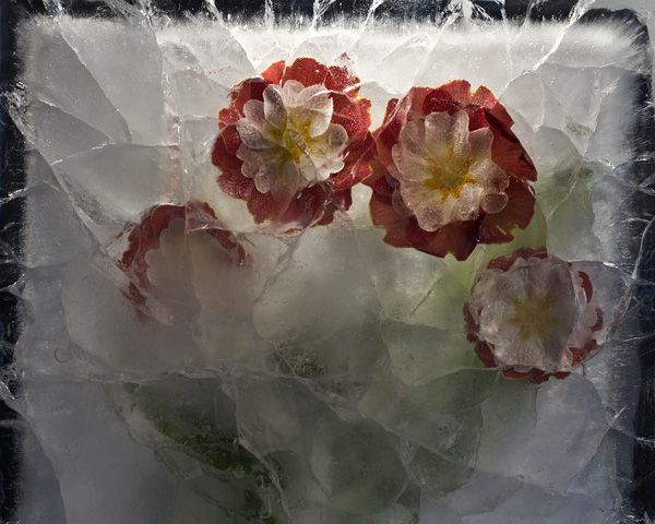 Ice and flowers: Nice frozen still-life photography by Vasilij Cesenov - 18