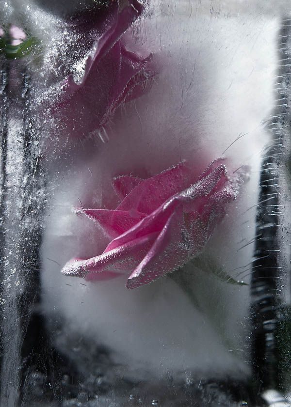 Ice and flowers: Nice frozen still-life photography by Vasilij Cesenov - 19