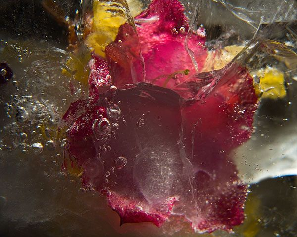 Ice and flowers: Nice frozen still-life photography by Vasilij Cesenov - 02