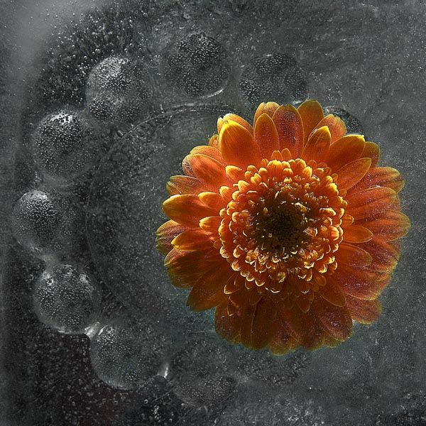 Ice and flowers: Nice frozen still-life photography by Vasilij Cesenov - 21
