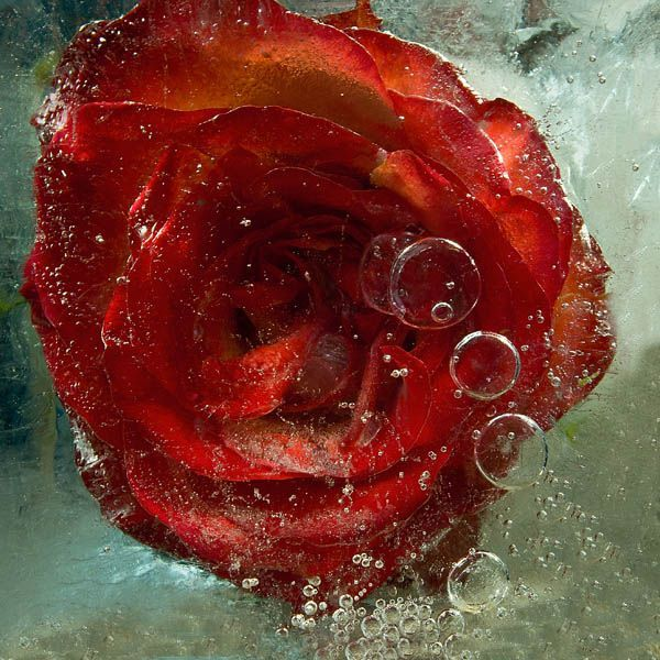 Ice and flowers: Nice frozen still-life photography by Vasilij Cesenov - 25