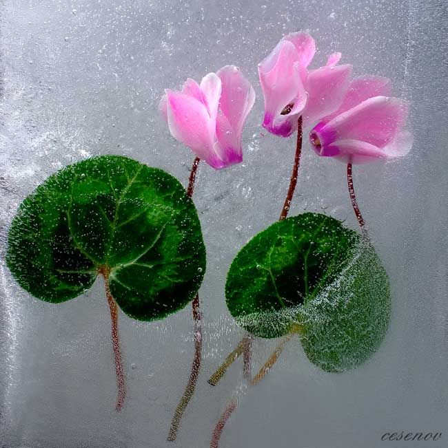 Ice and flowers: Nice frozen still-life photography by Vasilij Cesenov - 43
