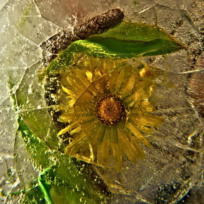 Ice and flowers: Nice frozen still-life photography by Vasilij Cesenov - 47