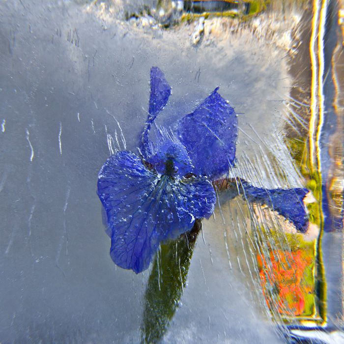 Ice and flowers: Nice frozen still-life photography by Vasilij Cesenov - 49