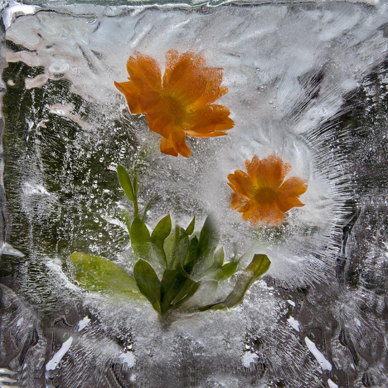 Ice and flowers: Nice frozen still-life photography by Vasilij Cesenov - 58