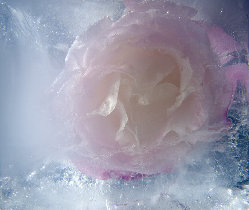 Ice and flowers: Nice frozen still-life photography by Vasilij Cesenov - 63