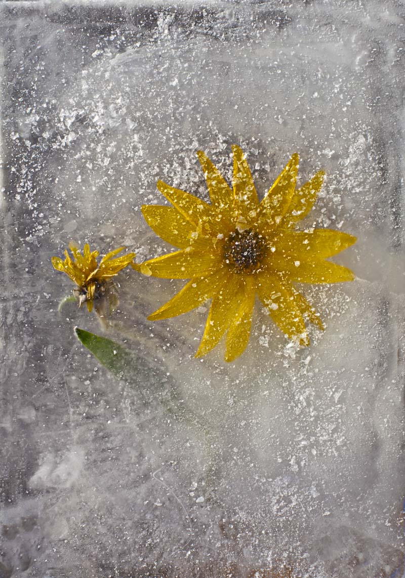 Ice and flowers: Nice frozen still-life photography by Vasilij Cesenov - 67