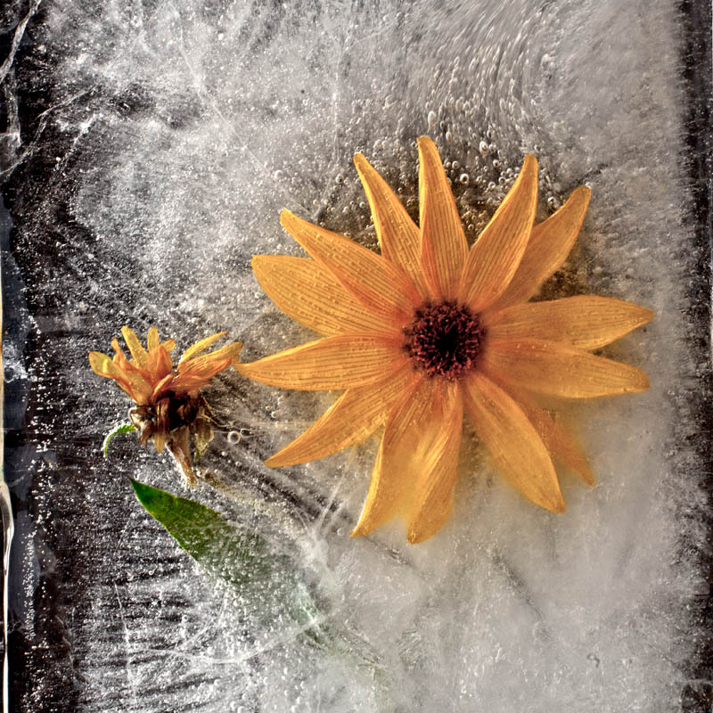 Ice and flowers: Nice frozen still-life photography by Vasilij Cesenov - 70