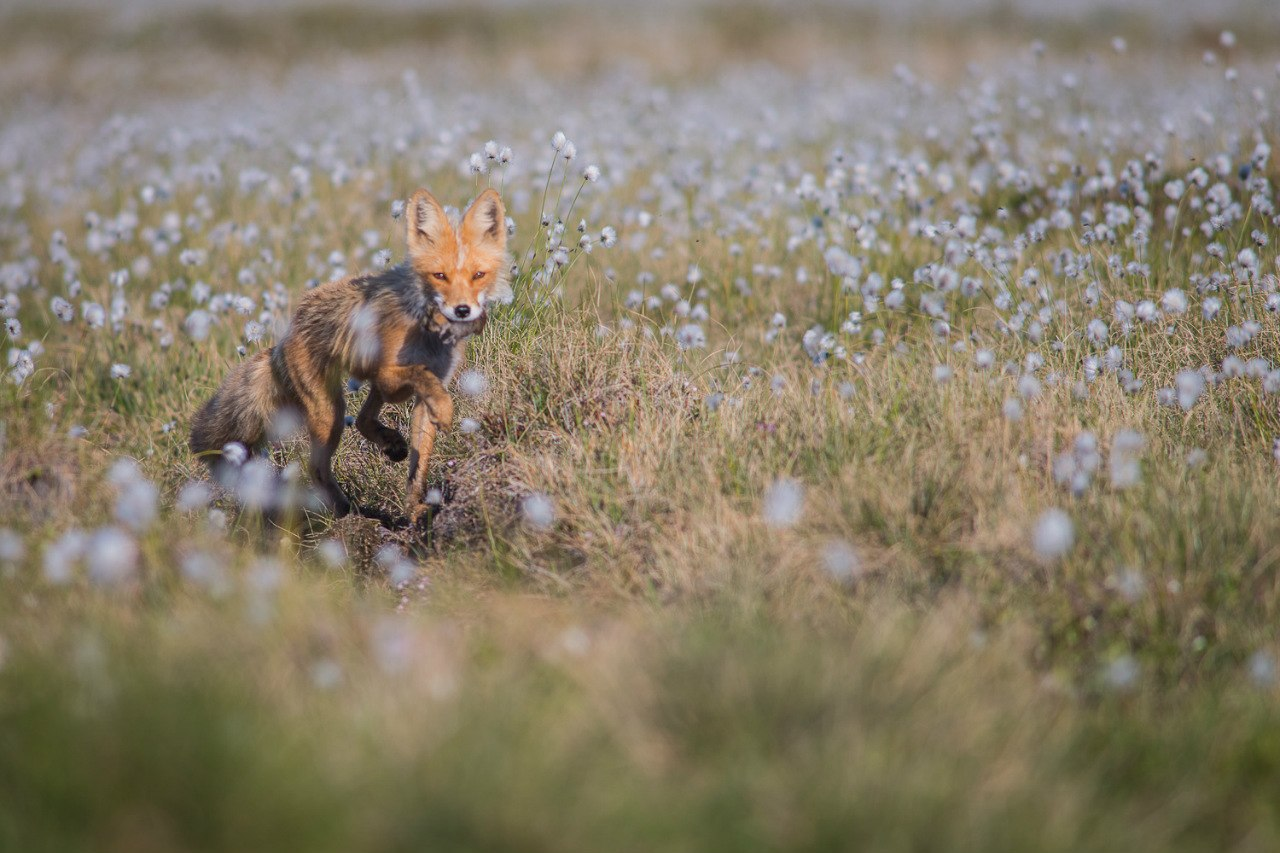 Chukotka animals: Lovely photos of Russian foxes by Ivan Kislov - 13