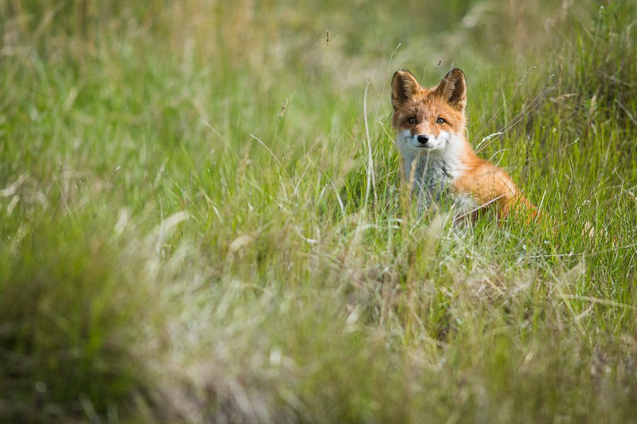 Chukotka animals: Lovely photos of Russian foxes by Ivan Kislov - 14