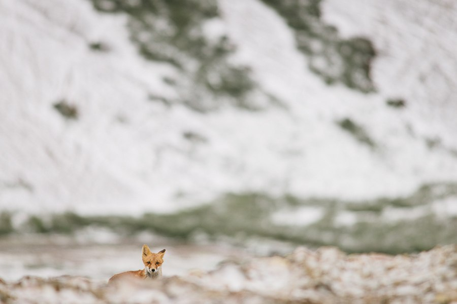 Chukotka animals: Lovely photos of Russian foxes by Ivan Kislov - 15