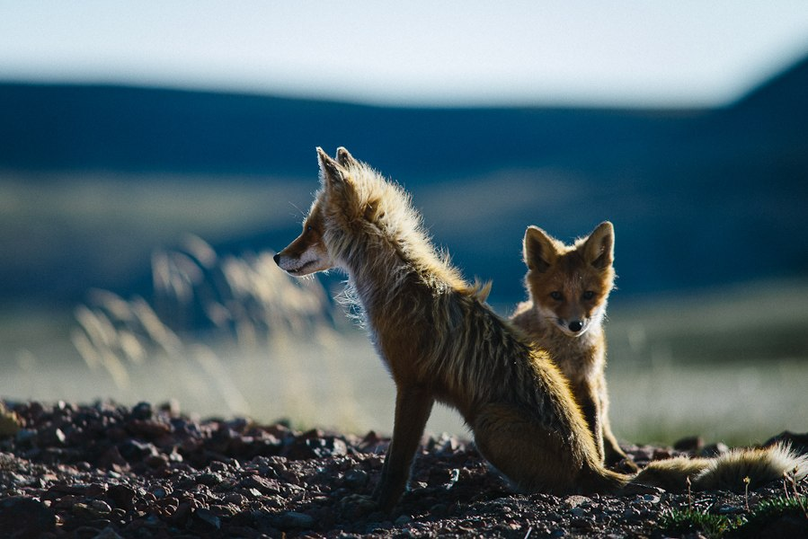 Chukotka animals: Lovely photos of Russian foxes by Ivan Kislov - 16