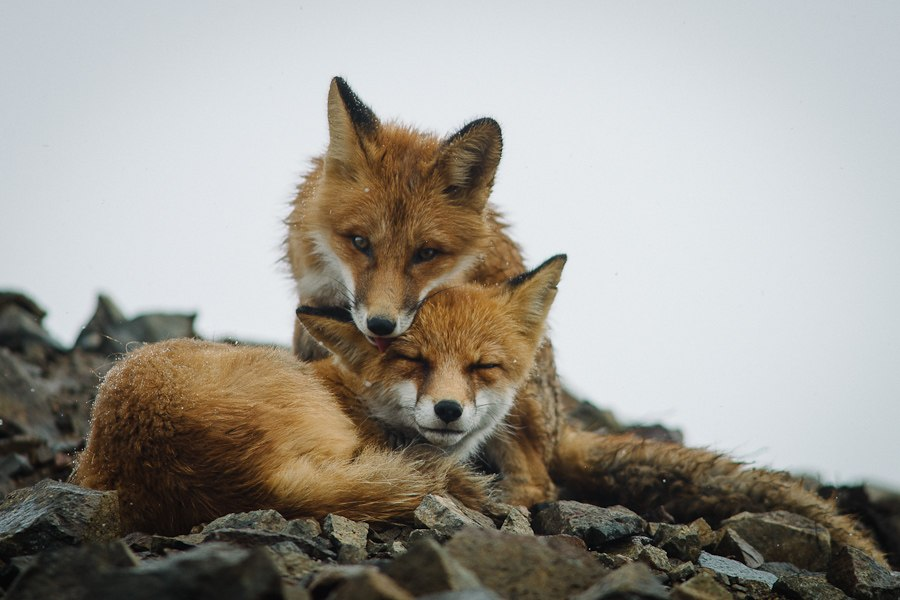 Chukotka animals: Lovely photos of Russian foxes by Ivan Kislov - 17
