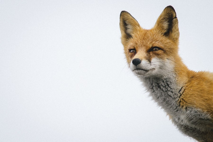 Chukotka animals: Lovely photos of Russian foxes by Ivan Kislov - 18