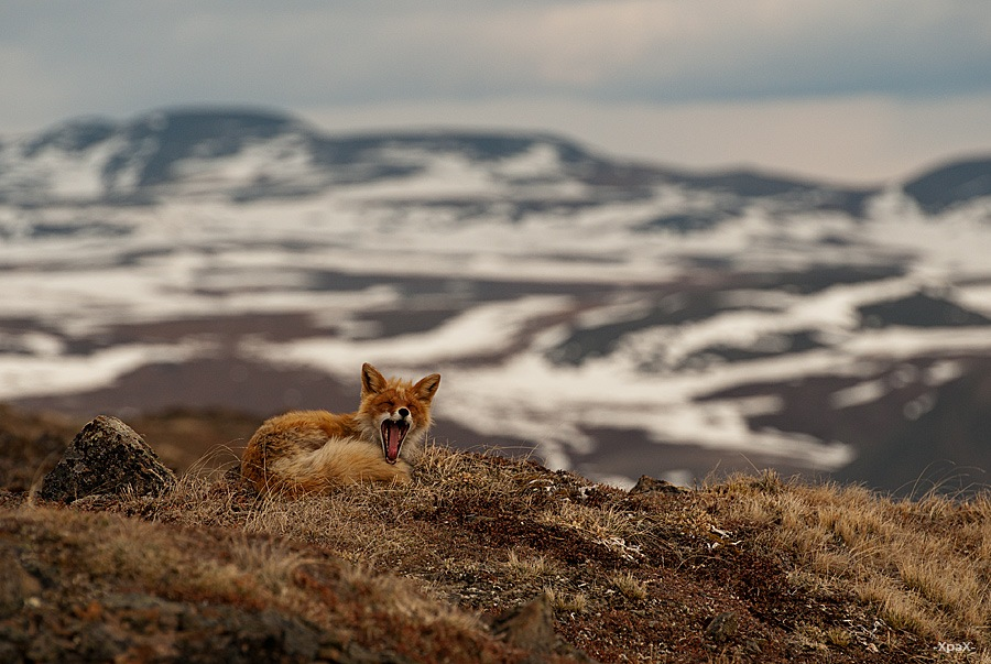 Chukotka animals: Lovely photos of Russian foxes by Ivan Kislov - 02