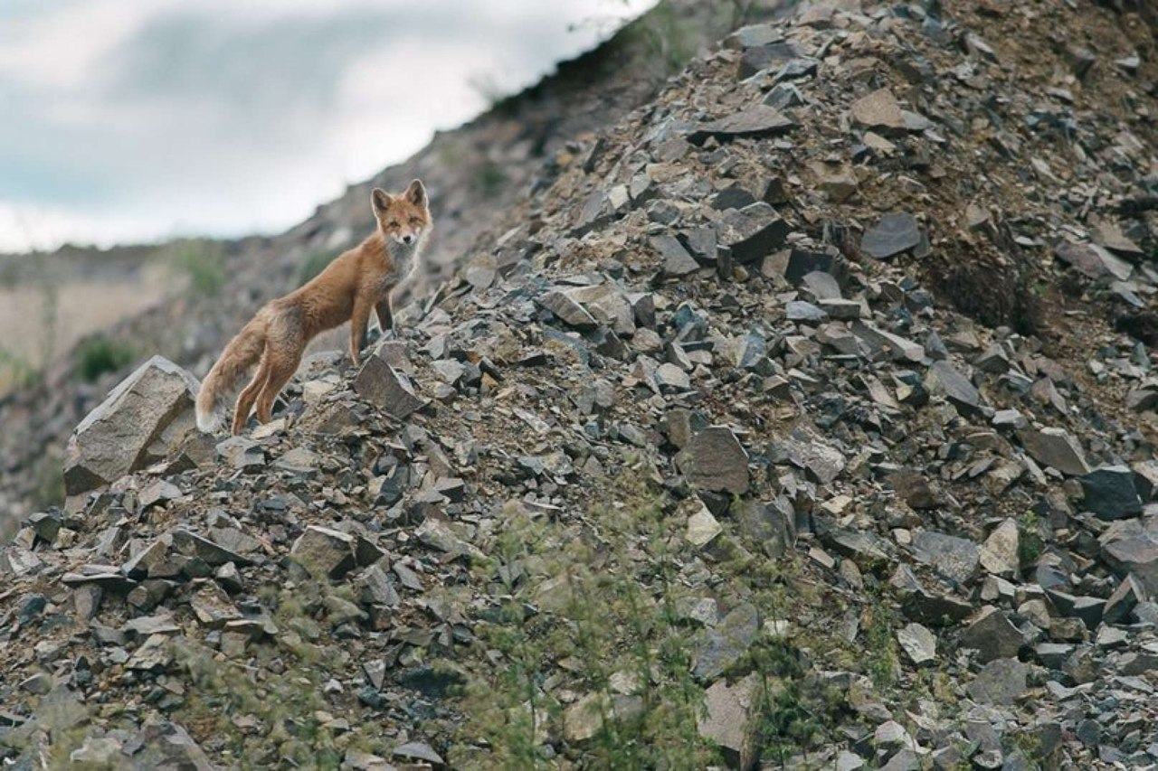 Chukotka animals: Lovely photos of Russian foxes by Ivan Kislov - 22