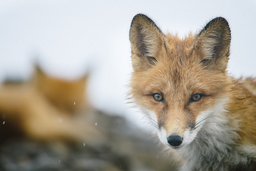 Chukotka animals: Lovely photos of Russian foxes by Ivan Kislov - 23