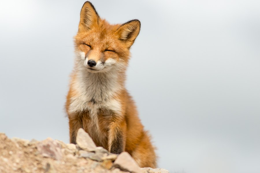Chukotka animals: Lovely photos of Russian foxes by Ivan Kislov - 24