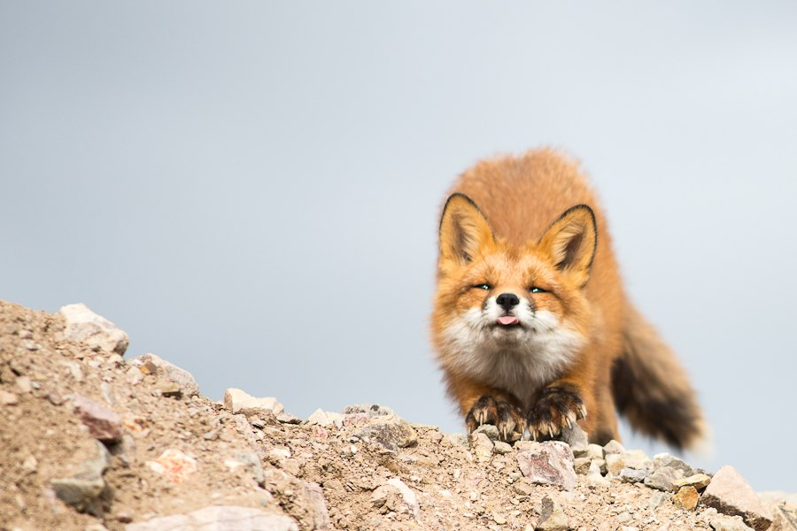 Chukotka animals: Lovely photos of Russian foxes by Ivan Kislov - 25