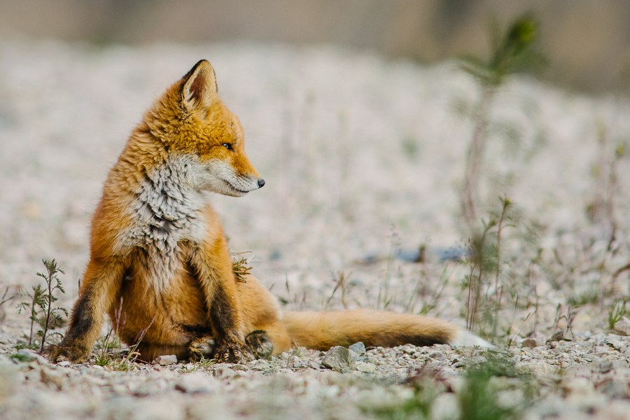 Chukotka animals: Lovely photos of Russian foxes by Ivan Kislov - 26