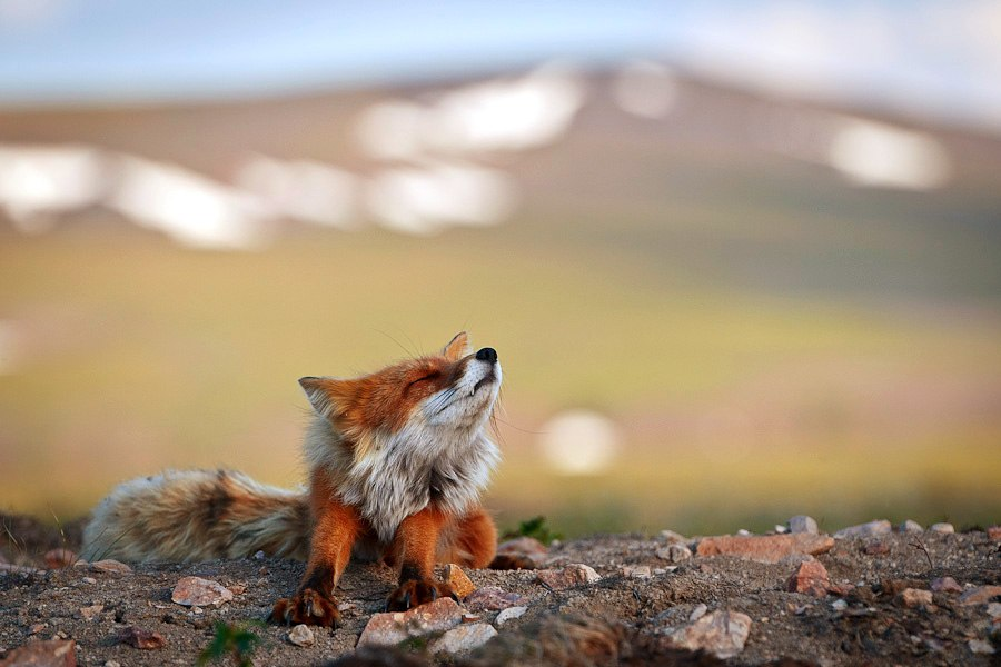 Chukotka animals: Lovely photos of Russian foxes by Ivan Kislov - 27