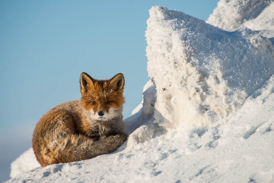 Chukotka animals: Lovely photos of Russian foxes by Ivan Kislov - 28
