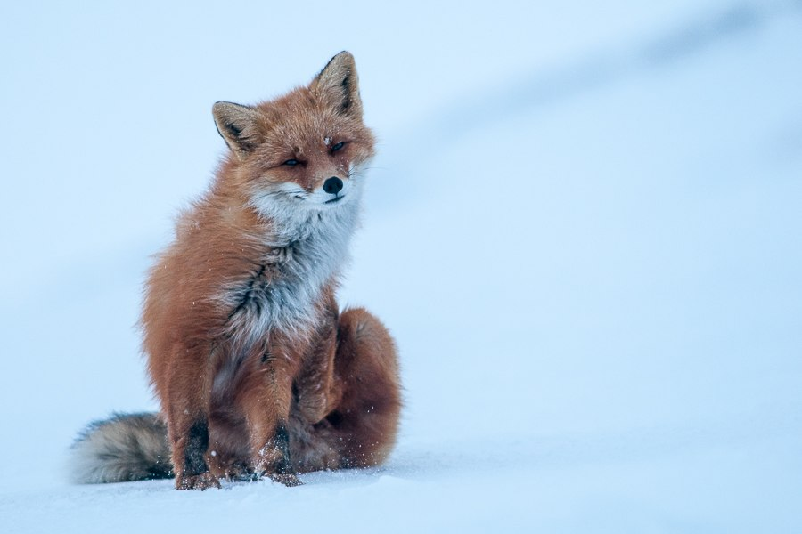 Chukotka animals: Lovely photos of Russian foxes by Ivan Kislov - 29