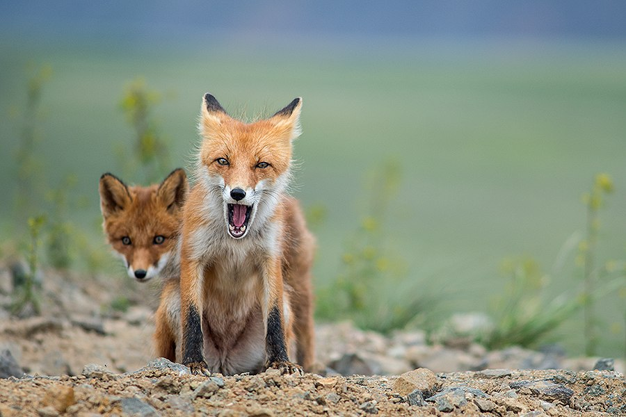 Chukotka animals: Lovely photos of Russian foxes by Ivan Kislov - 31