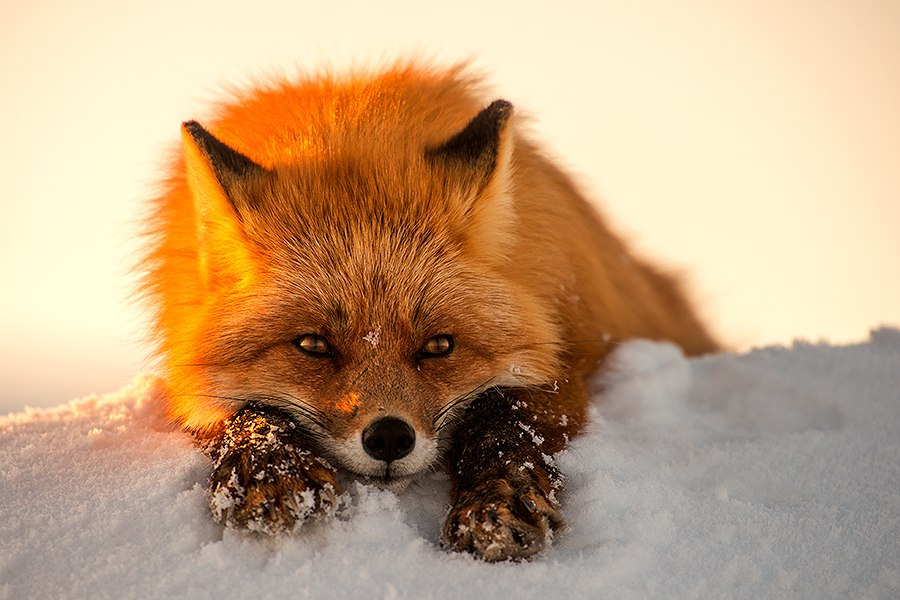 Chukotka animals: Lovely photos of Russian foxes by Ivan Kislov - 32