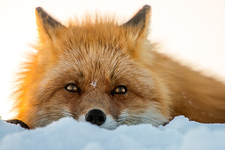 Chukotka animals: Lovely photos of Russian foxes by Ivan Kislov - 33