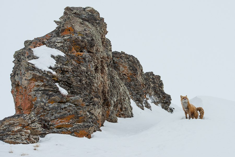 Chukotka animals: Lovely photos of Russian foxes by Ivan Kislov - 35