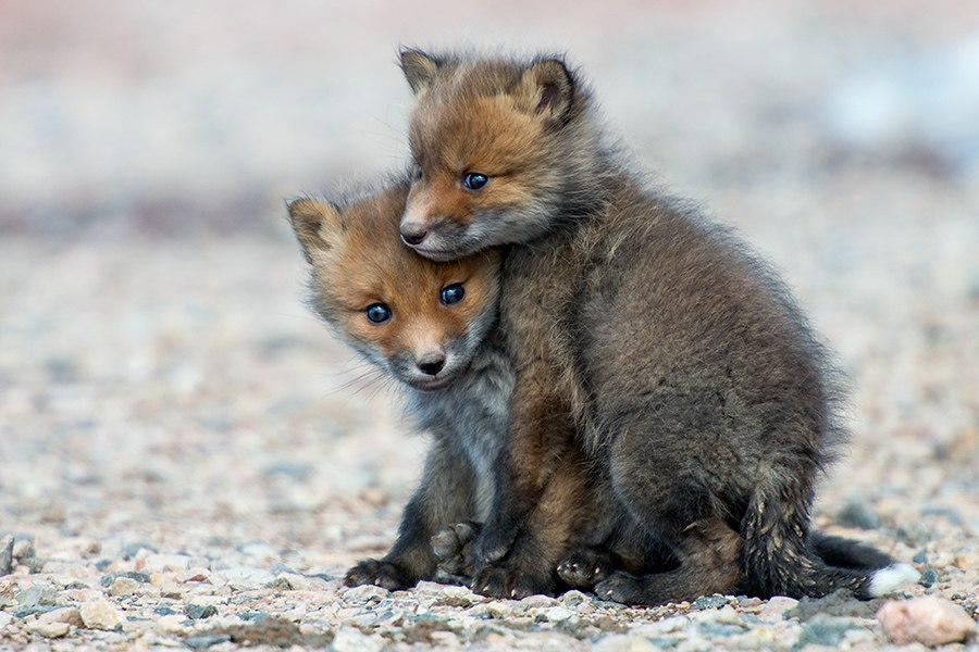 Chukotka animals: Lovely photos of Russian foxes by Ivan Kislov - 36