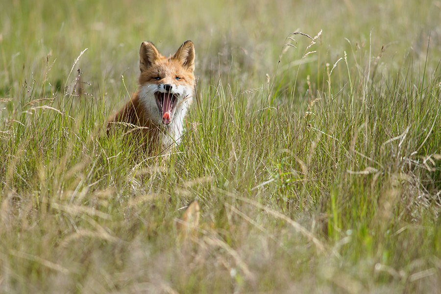 Chukotka animals: Lovely photos of Russian foxes by Ivan Kislov - 39