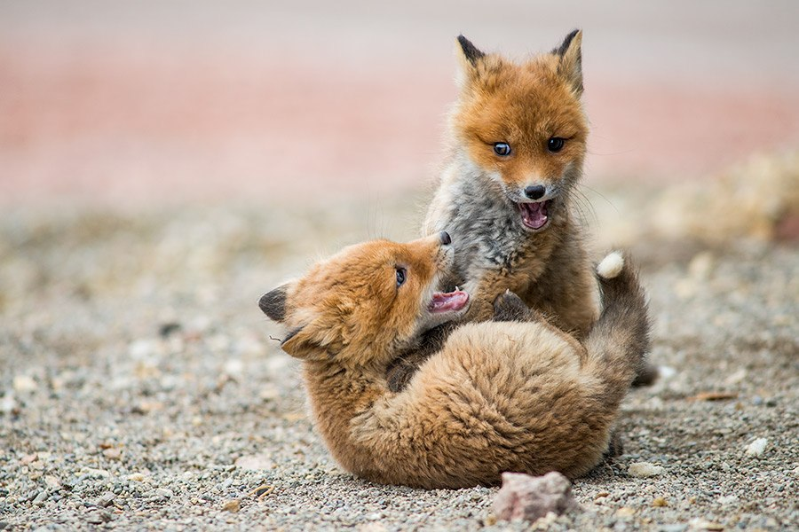 Chukotka animals: Lovely photos of Russian foxes by Ivan Kislov - 40