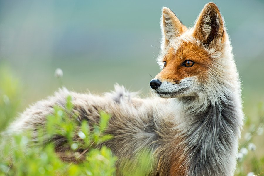 Chukotka animals: Lovely photos of Russian foxes by Ivan Kislov - 46