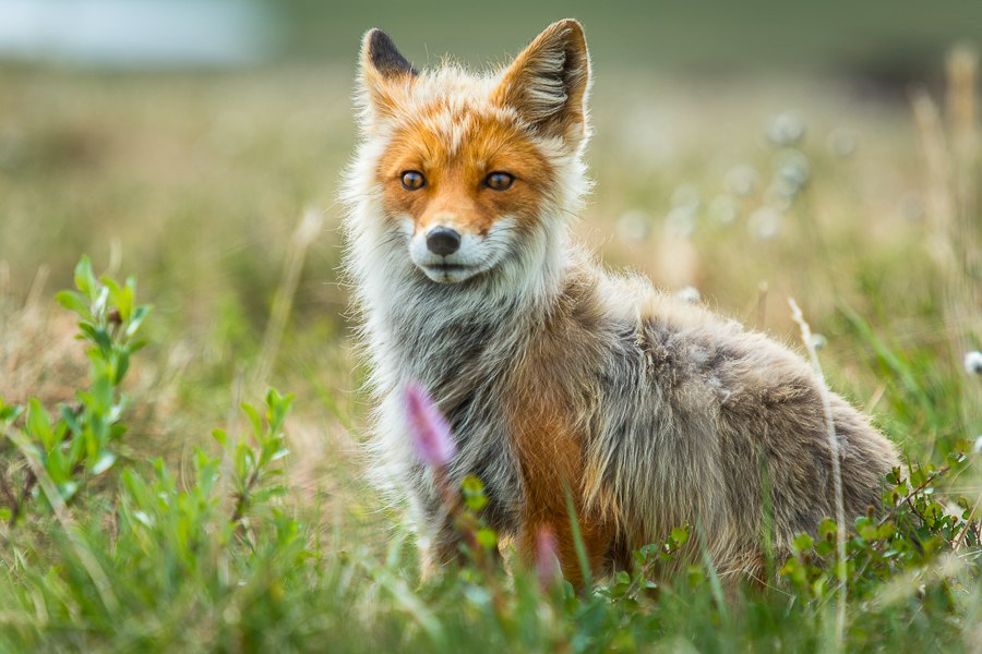 Chukotka animals: Lovely photos of Russian foxes by Ivan Kislov - 47
