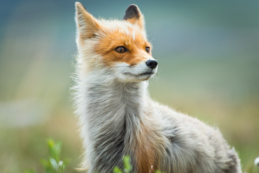 Chukotka animals: Lovely photos of Russian foxes by Ivan Kislov - 48